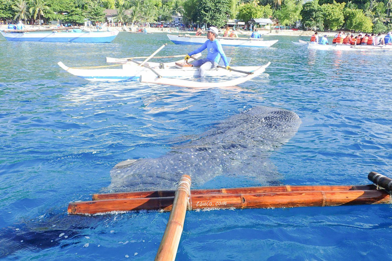 菲律賓宿霧 歐斯陸 Oslob 鯨鯊村浮潛 鯨鯊共游