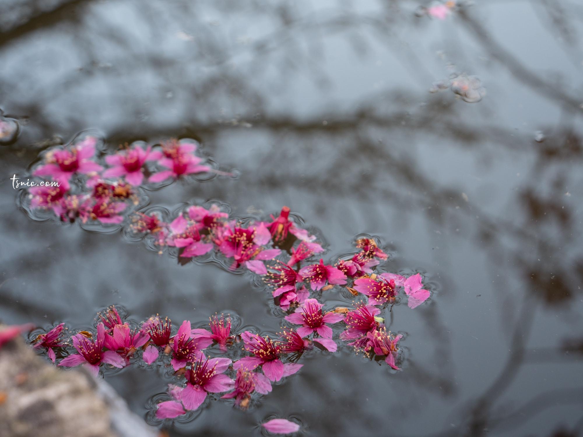 南投信義景點 草坪頭玉山觀光茶園櫻花季 浪漫李白花步道